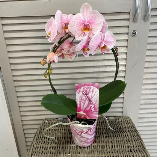 Комнатное растение Орхидея фалинопсис Розовый