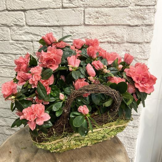 Шикарная корзина азалии по супер цене: букеты цветов на заказ Flowwow