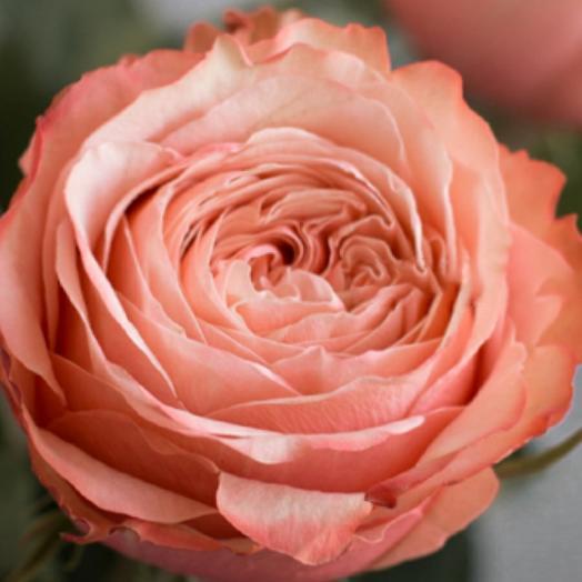 Роза Кахала 50см