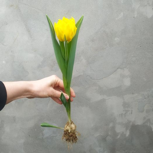 Тюльпаны с грядки