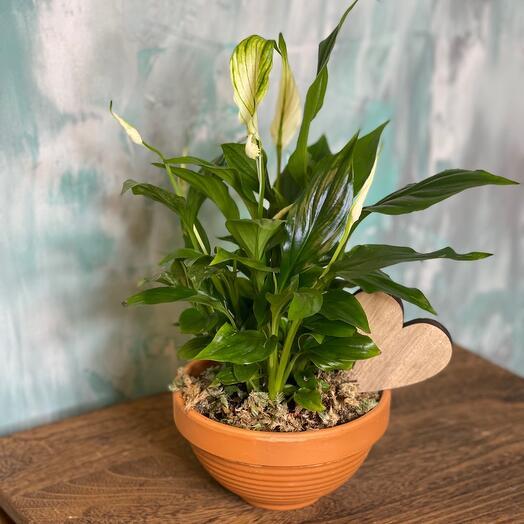 Комнатное растение спацифилум