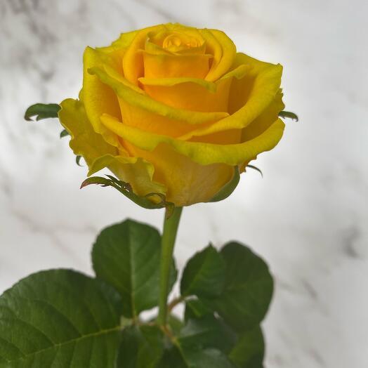 Роза Желтая «Ол Райт»50 см