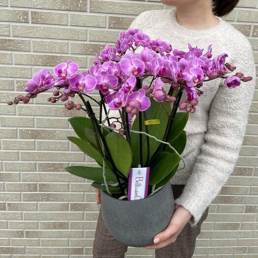 Орхидея в кашпо