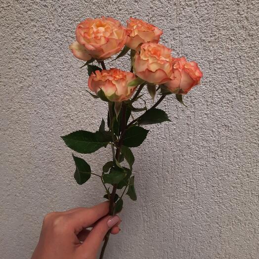 """Кустовая роза """"Шоу Флоу"""" 40см"""