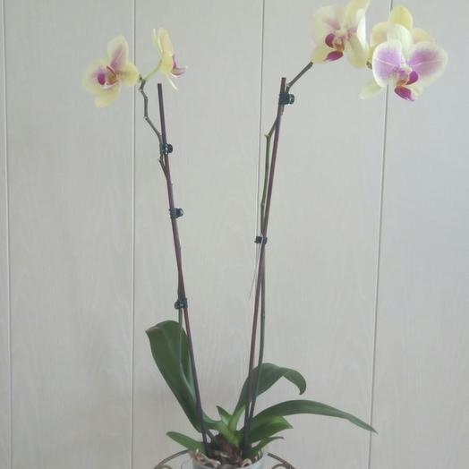 Фаленопсис 2 ствола: букеты цветов на заказ Flowwow