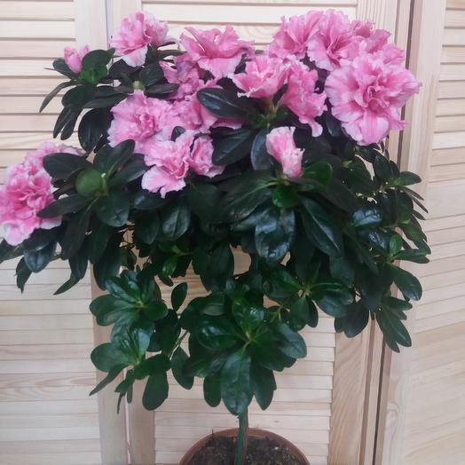 Азалия декоративная: букеты цветов на заказ Flowwow