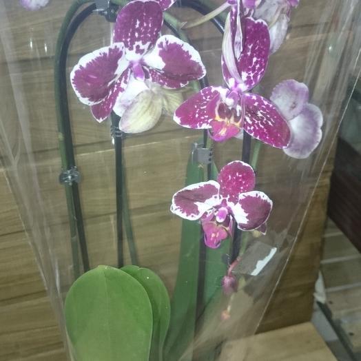 Орхидея фаленопсис 2ветки: букеты цветов на заказ Flowwow