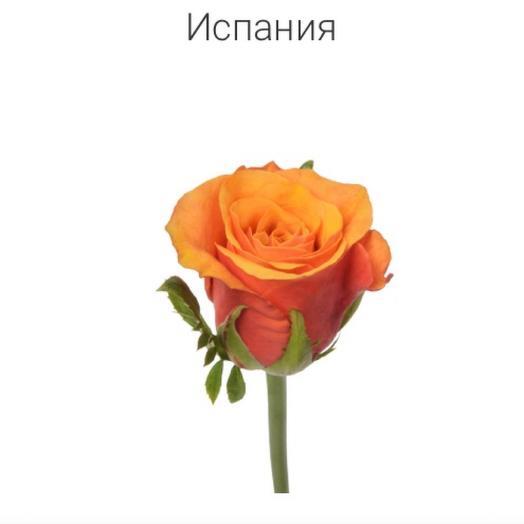 Роза «Испана» 80 см