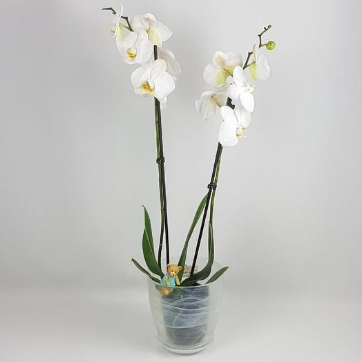 """Комнатное растение """"Орхидея фаленопсис"""" 2 ствола"""