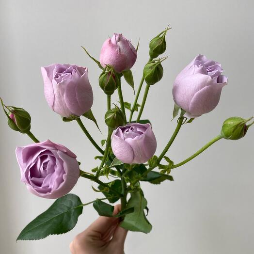Кустовая Роза Лавандовая