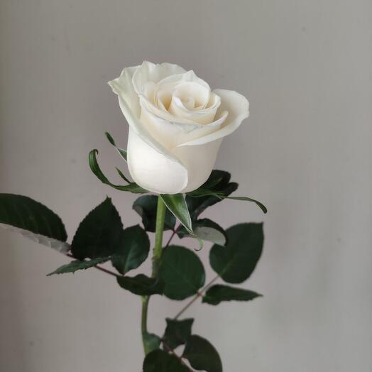 Роза белая 50см Эквадора
