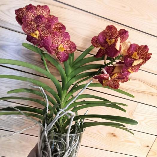 Орхидея Ванда в стекле h60 d14