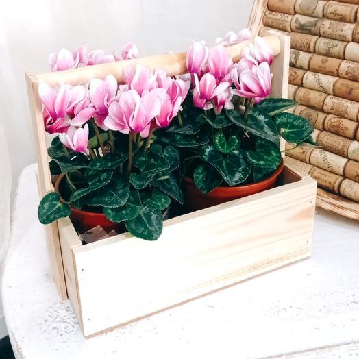 Цикламены в деревянном ящике