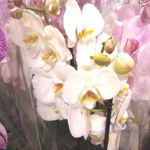 Орхидея двухствольная
