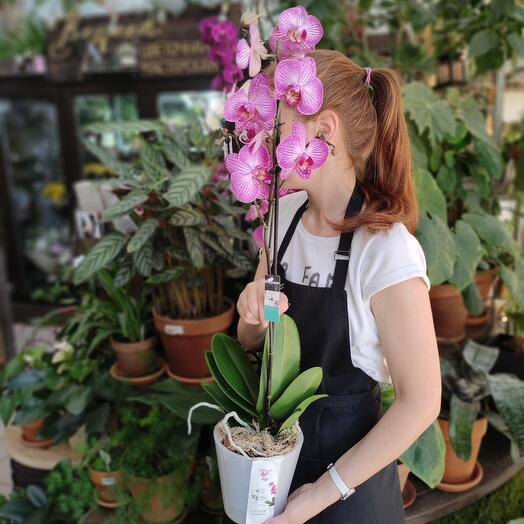 Орхидея Фаленопсис