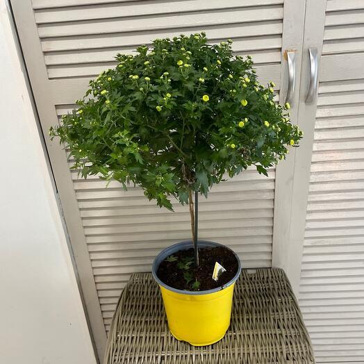 Комнатное растение хризантема кустовая на штамбе