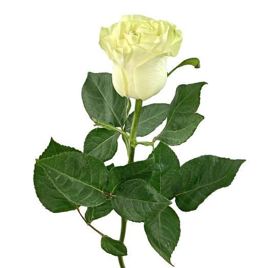 Роза Mondial 60 см