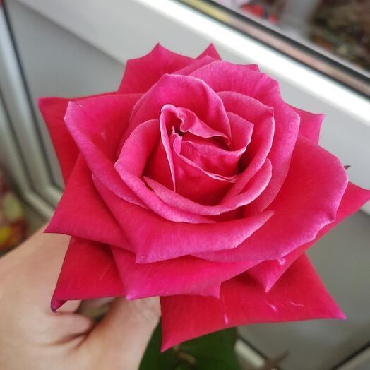 Роза Шангрила 80 см