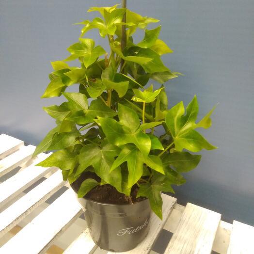 Фатсия Комнатное растение