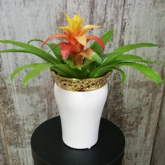 Гузмания в фарфоровом кашпо: букеты цветов на заказ Flowwow