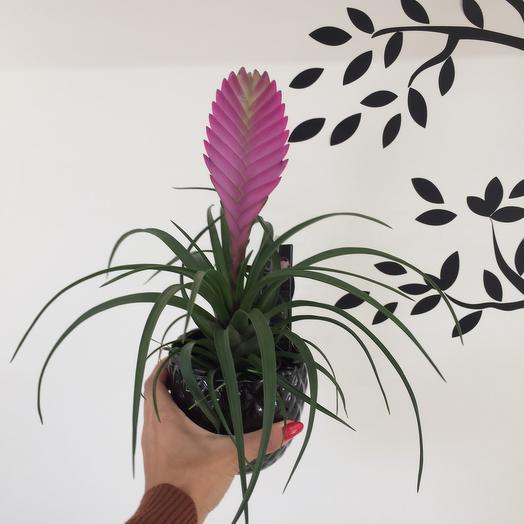 Тилландсия Анита: букеты цветов на заказ Flowwow