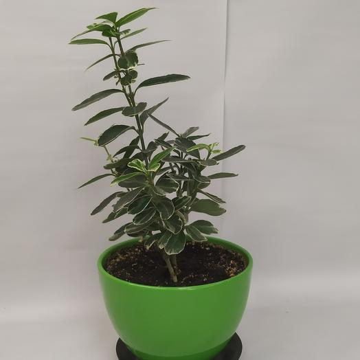 Комнатное растение Бересклет японский