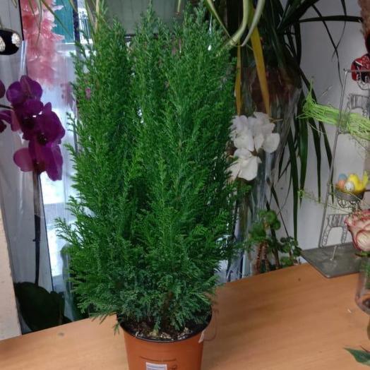 Комнатное растение Кипарисовик Эльвуди