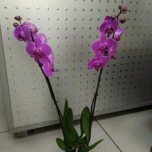 Фаленопсис (орхидея)