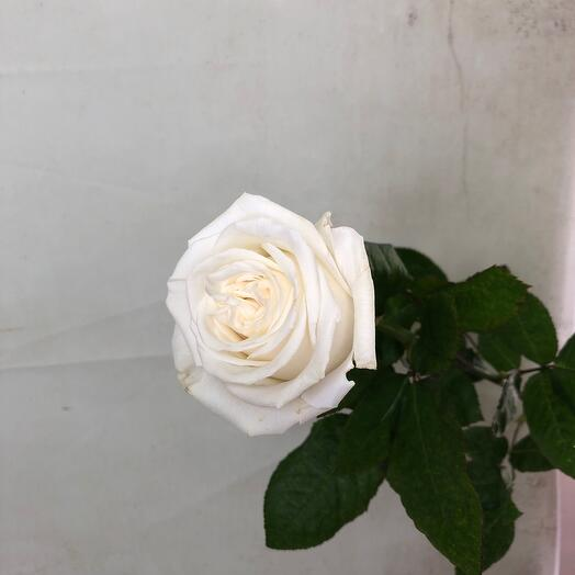 Роза «Playa Blanca» 70 см
