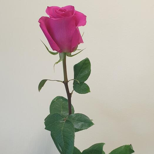 Роза Pink Floyd Эквадор 60 см