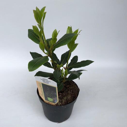 Растение лавр (Laurus)