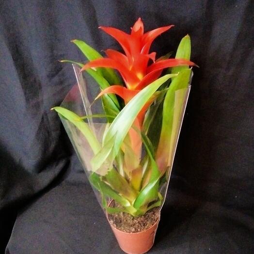 Комнатное растение Гузмания