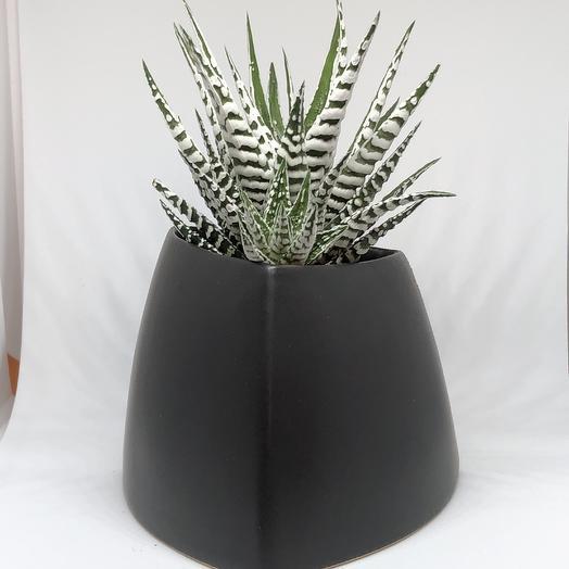 Хавортия в чёрном: букеты цветов на заказ Flowwow