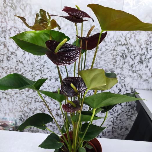 Антуриум шоколадный (черный)