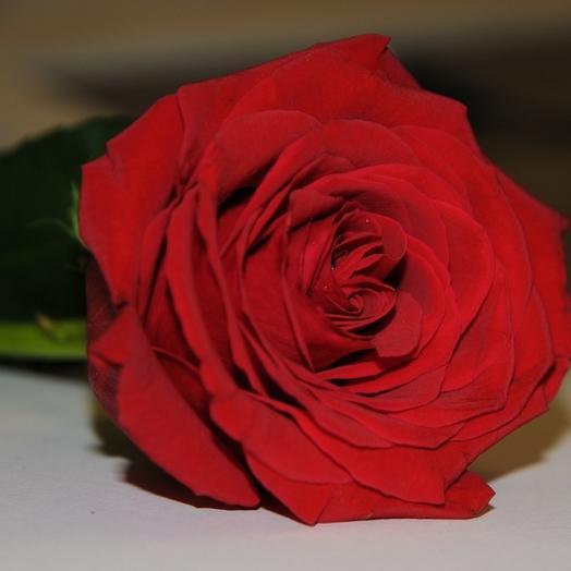 Красная роза (Россия)