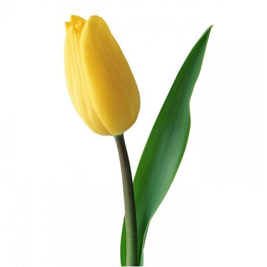 Жёлтый тюльпан