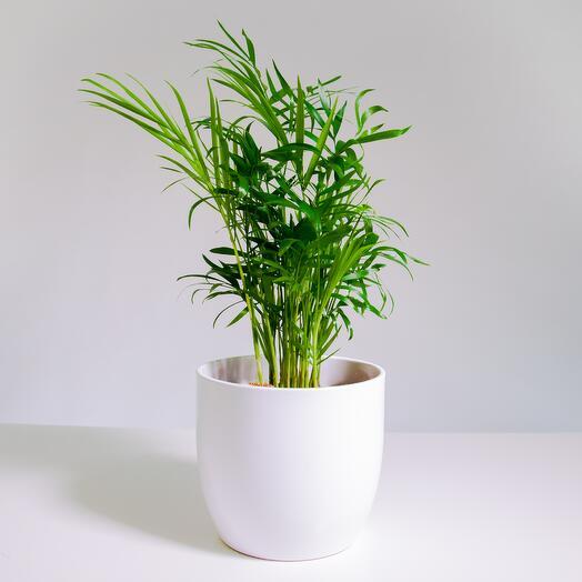 """Растение """"Хамедорея Элеганс"""" пересаженное в Белый овал горшок"""