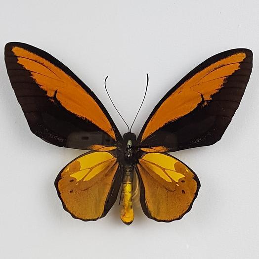 Бабочка - Птицекрыл Крез: букеты цветов на заказ Flowwow