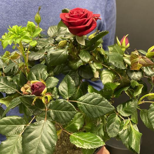 Роза патио: букеты цветов на заказ Flowwow