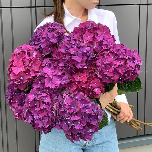 Hydrangea in Cerise color
