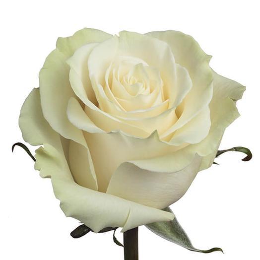 Роза мондиаль эквадор