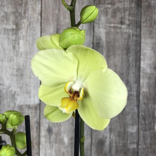Орхидея фаленопсис Лайм 2ст