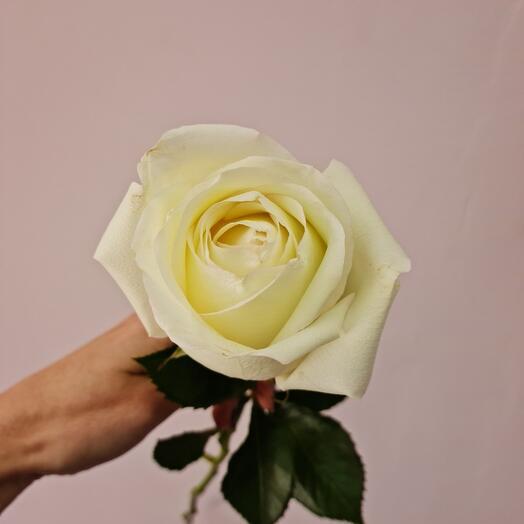 Роза белая Alba