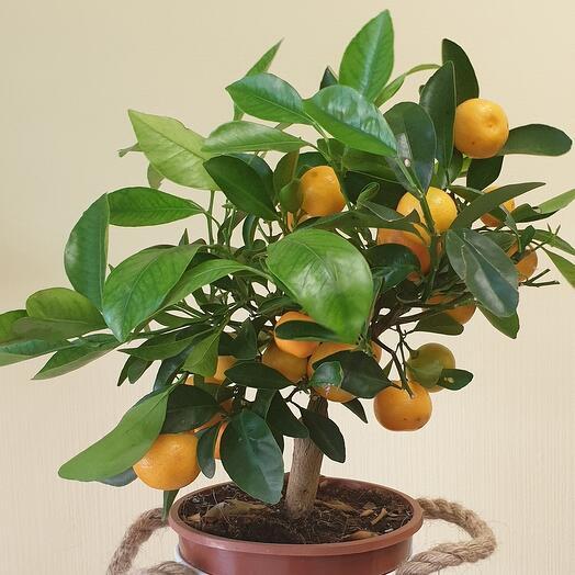 Мандаринов дерево