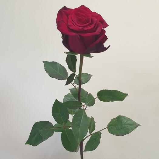 Роза Эксплорер 60 см