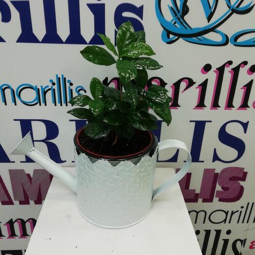 Комнатное растение Кофе Арабика в металлической лейке