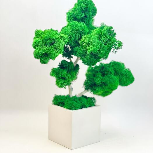 Стабилизированное дерево Береза