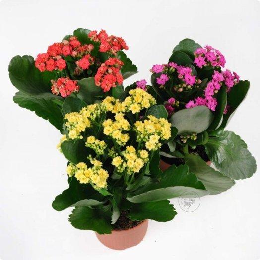 Каланхоэ микс: букеты цветов на заказ Flowwow