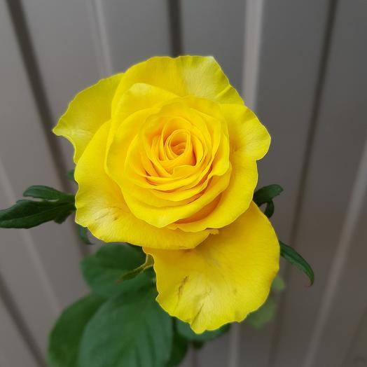 Роза -Желтая