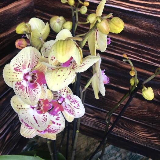 Орхидея фаленопсис 4 стрелы